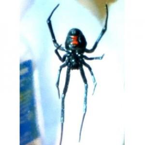 British Sea King engineers catch Black Widow spider