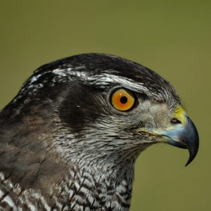 Ceuta HP implements falconry service