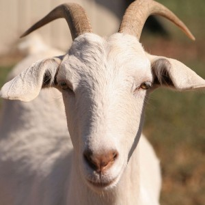 Do goats get stressed-out by low-flying helicopters?